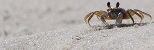 CrabBand